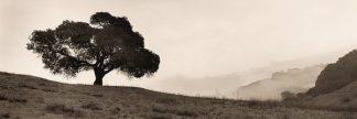 B1288D - Blaustein, Alan - Black Oak Tree