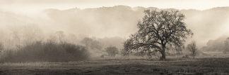 B1289D - Blaustein, Alan - Meadow Oak Tree
