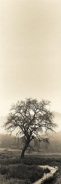 B1291D - Blaustein, Alan - Valley Oak Tree