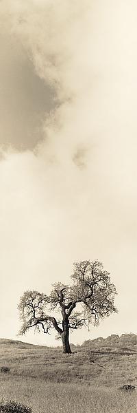 B1292D - Blaustein, Alan - Vintage Oak Tree
