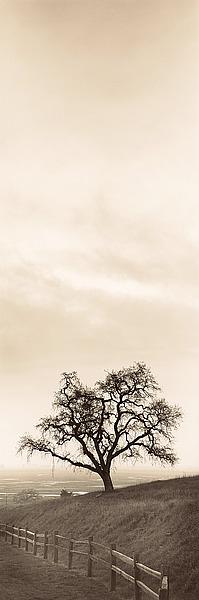 B1293D - Blaustein, Alan - Sentinel Oak Tree