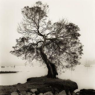 B1300D - Blaustein, Alan - Coast Oak Tree (detail)