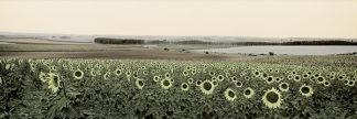 B2766D - Blaustein, Alan - Andalusian Sun Flowers