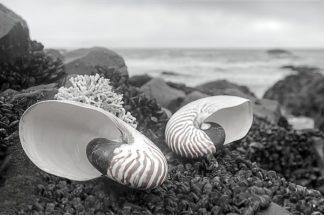 B3350D - Blaustein, Alan - Crescent Beach Shells 2