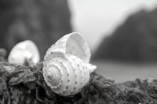 B3359D - Blaustein, Alan - Crescent Beach Shells 1