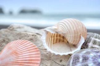 B3372D - Blaustein, Alan - Crescent Beach Shells 9