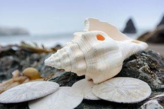 B3374D - Blaustein, Alan - Crescent Beach Shells 11