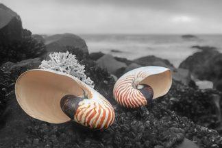 B3415D - Blaustein, Alan - Crescent Beach Shells 2