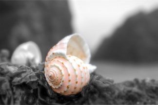 B3433D - Blaustein, Alan - Cresent Beach Seashell #1A