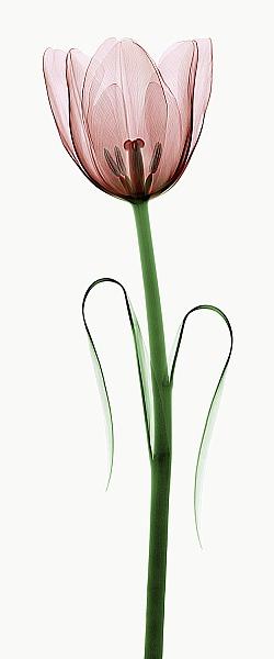 C1036D - Coop, Robert - Tulip I