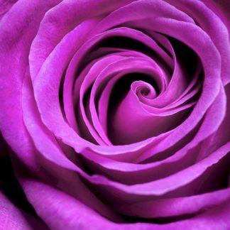 IN30867 - PhotoINC Studio - Purple Rose
