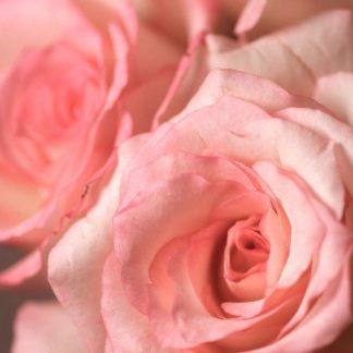 IN30870 - PhotoINC Studio - Pink Rose