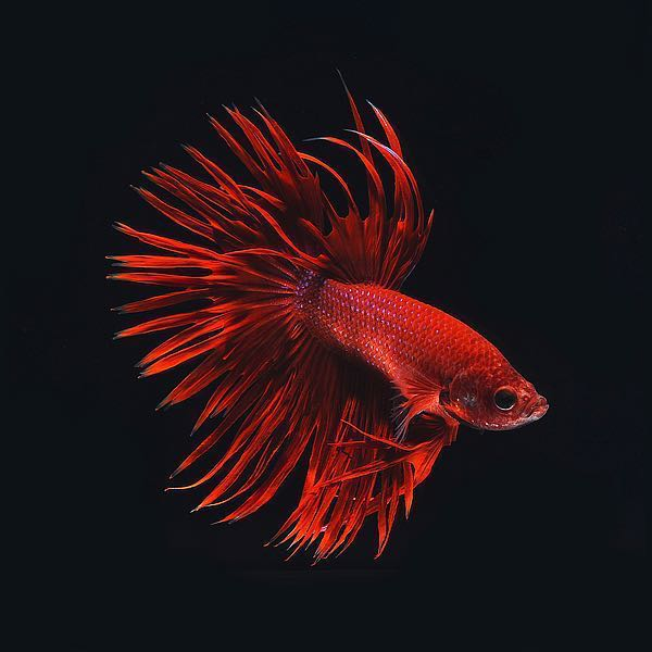 IN31887 - PhotoINC Studio - Red Betta Fish