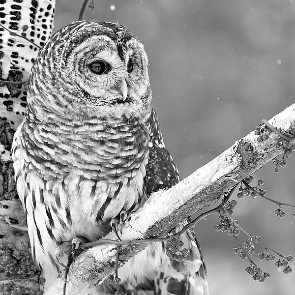 IN32177-6 - PhotoINC Studio - White Owl