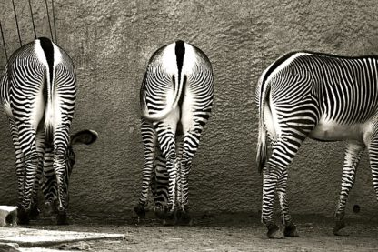L723D - Lawhorn, Courtney - Zebra Butts
