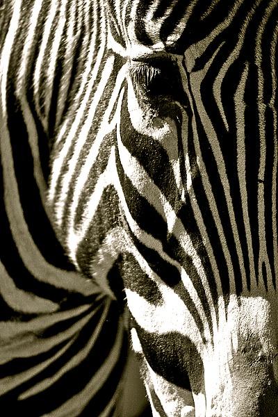 L724D - Lawhorn, Courtney - Zebra Head
