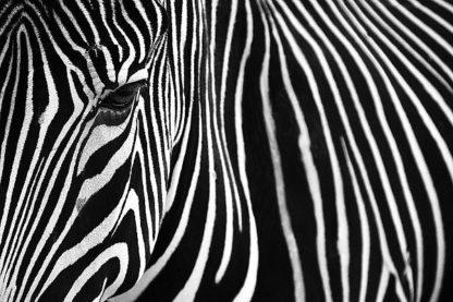M1314D - Mumford, Andy - Zebra in Lisbon Zoo