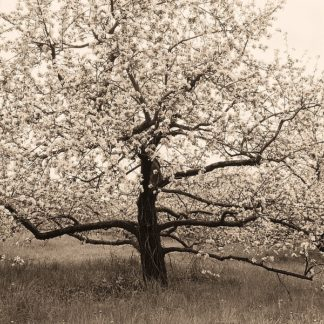 T301D - Triebert, Christine - Apple Tree in Bloom
