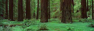 T470D - Thomas, Alain - Redwoods, Rolph Grove