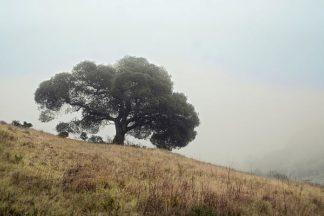 ABSFH69 - Blaustein, Alan - Oak Tree #53