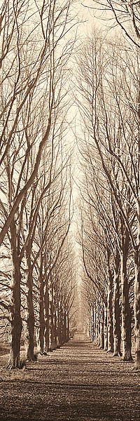 B944D - Blaustein, Alan - Poplar Trees