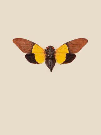 IN99032 - Incado - Cicada