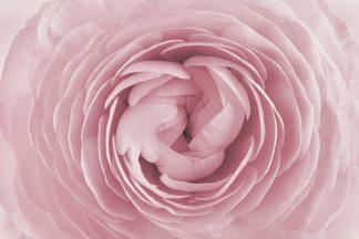 IN99068 - PhotoINC Studio - Rose