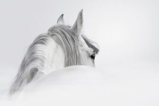 IN99071 - PhotoINC Studio - White Horse