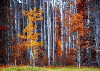 K2606D - Kostka, Vladimir - Autumn Birches