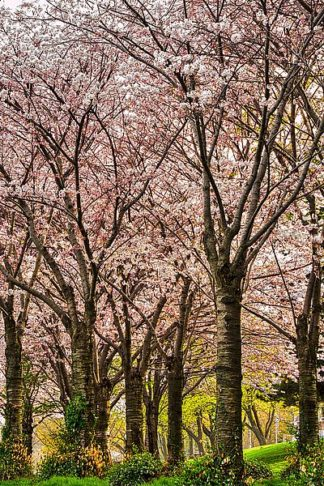 B3578D - Burdick, Chuck - Cherries in Bloom