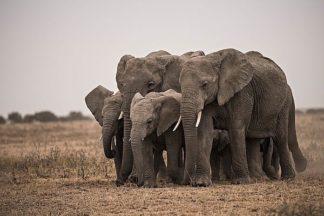 S1625D - Soloway, Eddie - Elephant Family