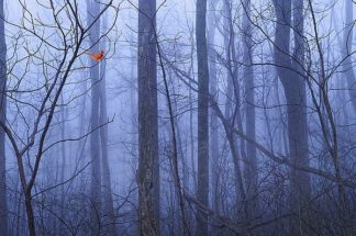 O327D - O'Dell, Dale - Red Cardinal in a Blue Forest