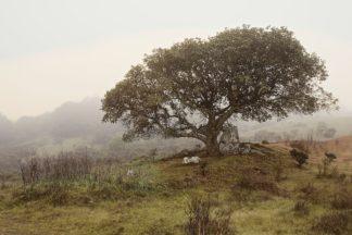 Oak Tree #54