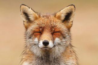 Zen Fox Red Portrait